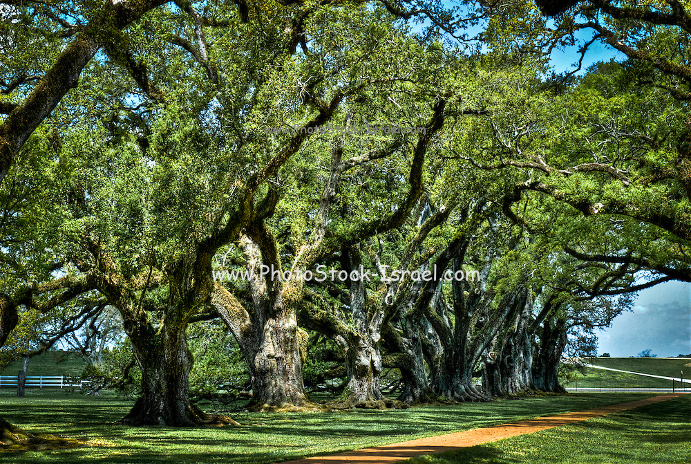 Ancient oak trees at Oak Alley Plantation, Vacherie, Louisiana, USA