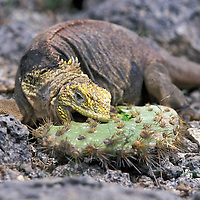 Ecuador, Galapagos Islands, Land Iguana (Conolophus subcristatus) feeding on Opuntia Cactus on Plaza Sur Island