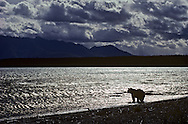 USA, Vereinigte Staaten Von Amerika: Grizzlybär (Ursus arctos horribilis), blickt über den Naknek See am Abend, große und dunkle Wolken am Himmel, Katmai Nationalpark, Alaska | USA, United States Of America: Brown bear (Ursus arctos horribilis), looking over Naknek Lake in the evening, big and dark clouds in the sky, Katmai National Park, Alaska |