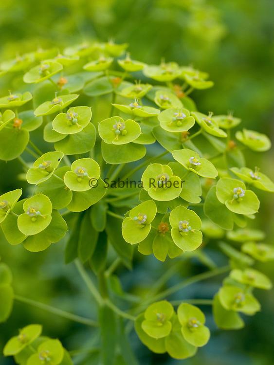 Euphorbia seguieriana - steppes spurge