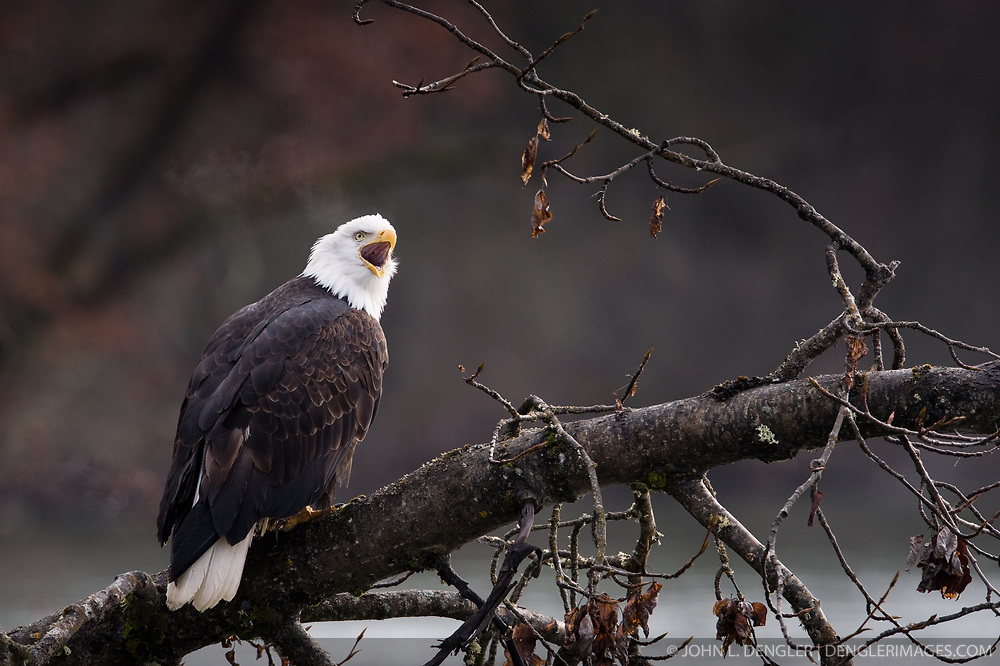 A bald eagle (Haliaeetus leucocephalus) sits in a tree and calls in the Alaska Chilkat Bald Eagle Preserve along the Chilkat River near Haines, Alaska. Note that the eagle's breath is visible due to the cold. During late fall, bald eagles congregate along the Chilkat River to feed on salmon. This gathering of bald eagles in the Alaska Chilkat Bald Eagle Preserve is believed to be one of the largest gatherings of bald eagles in the world.