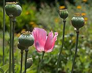 Poppy in Wonderland