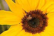 A bee on a sunflower in Tucson, Arizona, USA.