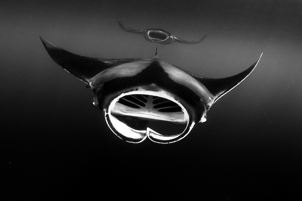 México, Quintana Roo. Two Manta Rays aproaching with their mouth open in perfect formation near Isla Mujeres.