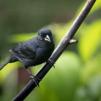 Tachyphonus rufus, male, Trinidad
