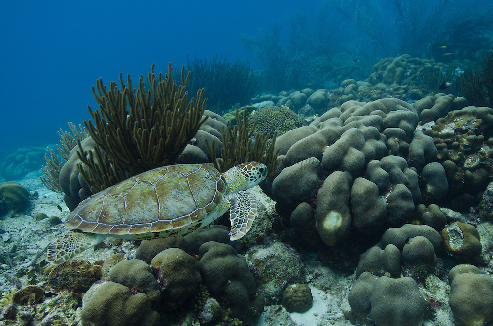 Green Turtle (Chelonia mydas)<br /> BONAIRE, Netherlands Antilles, Caribbean<br /> HABITAT & DISTRIBUTION: Throughout tropical and subtropical seas around the world, with two distinct populations in the Atlantic and Pacific Oceans.<br /> IUCN STATUS: ENDANGERED SPECIES