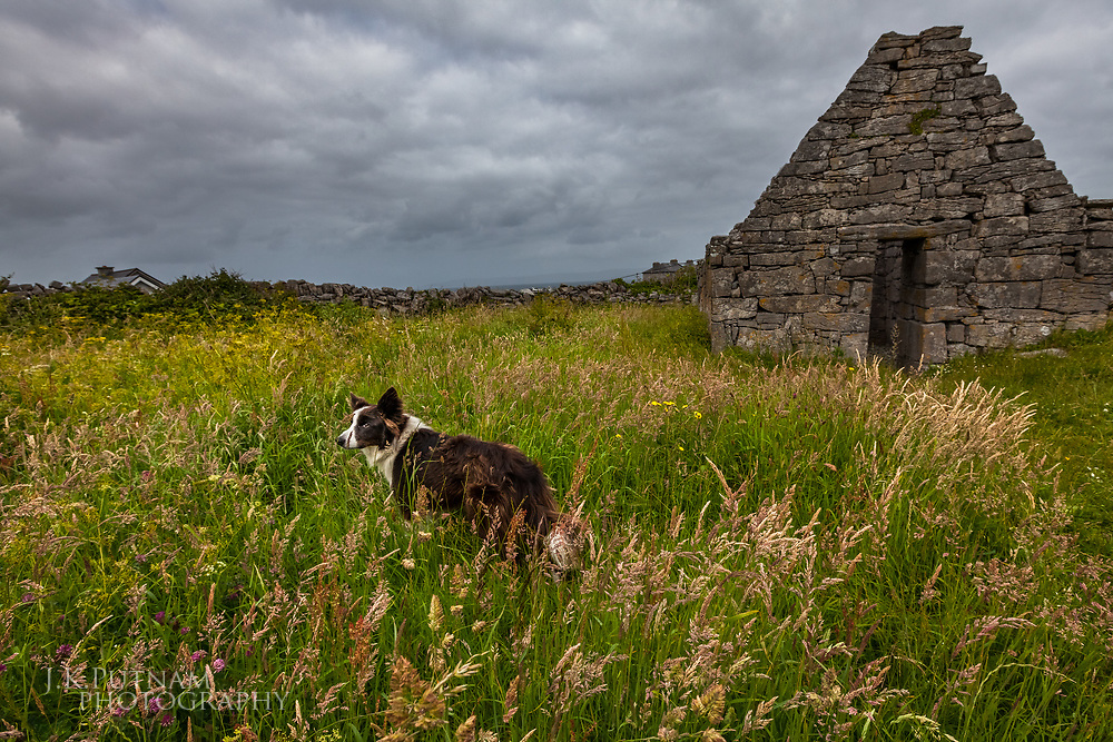 A local dog stands in a meadow next to an ancient burial site on Inisheer, one of the Aran Islands of Ireland.