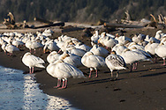 A Flock of Snow Geese (Anser caerulescens) at Iona Beach Regional Park in Richmond, British Columbia, Canada.  Richmond and Delta fields and wetlands are often a stop over for the Snow Geese as they migrate from their summer breeding grounds to warmer winter habitat.