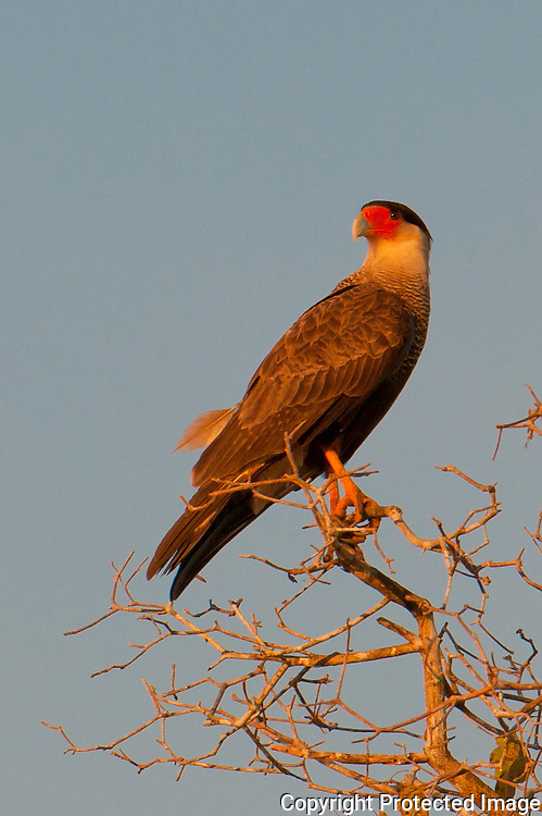 Crest Caracara along the Pixiam river in the Pantanal, Brazil
