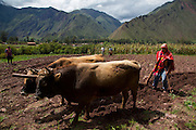 Oxen plowing, farm, Sacred Valley, Cusco Region, Urubamba Province, Machupicchu District, Peru