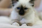 Pedigree Cat - portrait of a Fluffy Persian cat