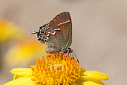 Callophrys gryneus juniperaria - Juniper Hairstreak