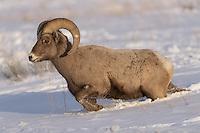 Dickhornschaf im Grand Teton Nationalpark, USA