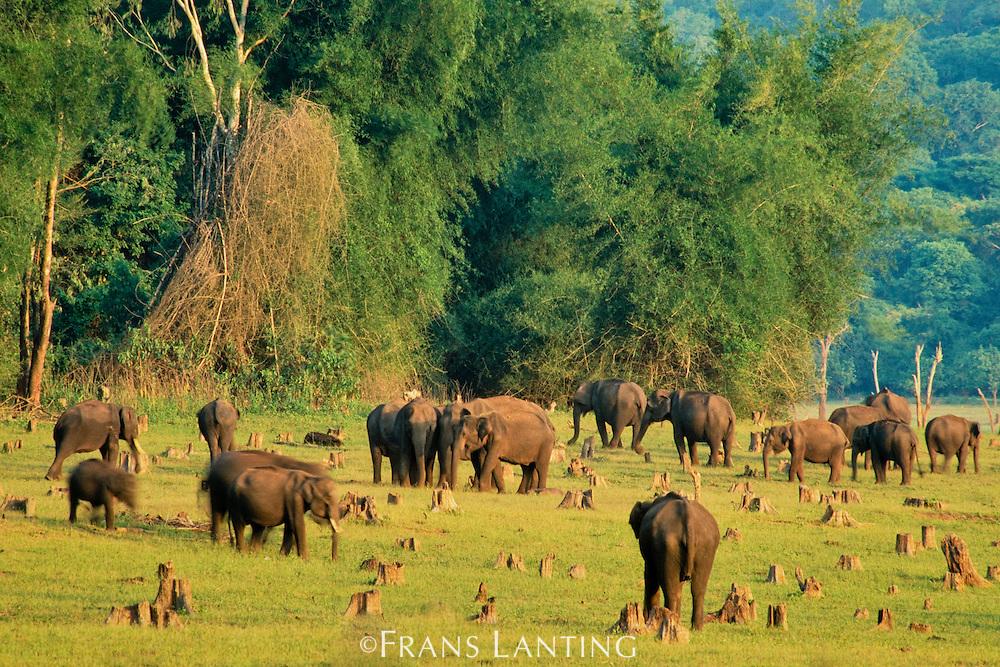 Asiatic elephants grazing on floodplain amid tree stumps, Elephas maximus, Nagarahole National Park, Western Ghats, India