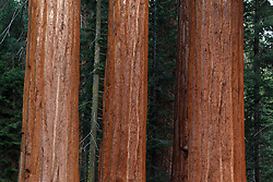 Three Giant Sequoia trees (Sequoiadendron giganteum), Sequoia National Park, California, United States of America