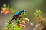 Red-chested Sunbird from Nyungwe, Rwanda | Rødbrystsolfugl fra Nyungwe, Rwanda.