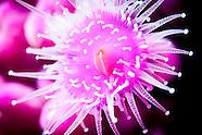 Corynactis australis (Jewel anemone)