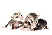 Studio portrait of three baby opossums.