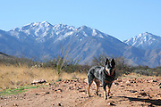 A Queensland Blue Heeler, Australian Cattle Dog, stands before a snow capped Mount Wrightson in the Santa Rita Mountains of the Coronado National Forest in the Sonoran Desert, Green Valley, Arizona, USA.