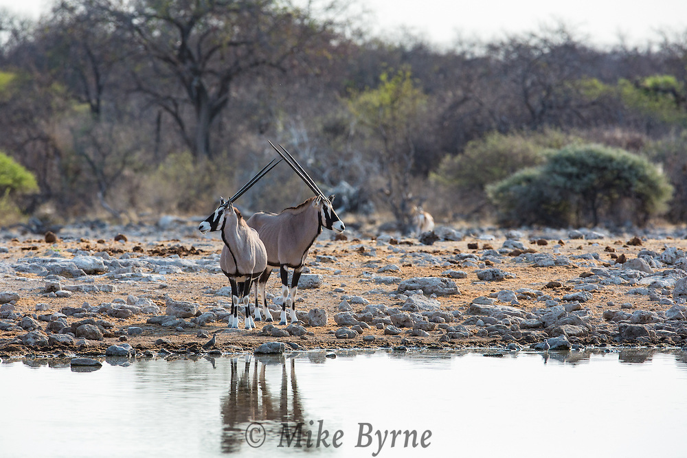 Oryx (Gemsbok) in Etosha National Park, Namibia.