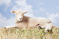 Lamb lying on hay against sky background (digital composite)