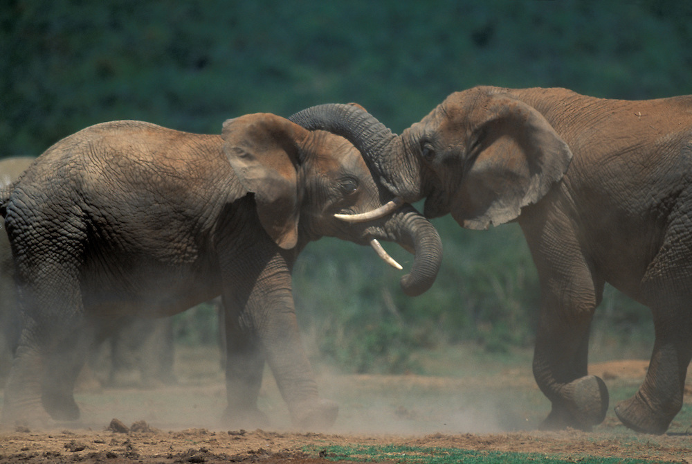South Africa, Addo Elephant National Park, Bull Elephants (Loxodonta africana) sparring by water hole
