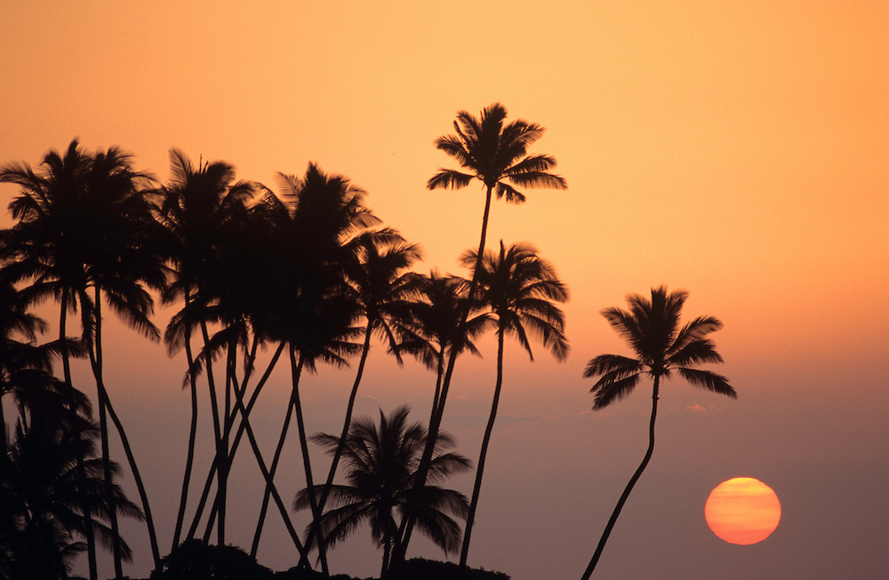 [palm frond] [palm tree] coconut silhouette sunset
