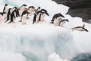Adelie penguins diving into water, Pygoscelis adeliae, Antarctica