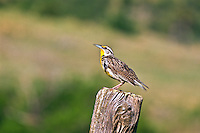 """Western Meadowlark (Sturnella neglecta)  A 9"""" bird.  Brownish above and yellow below with a black V on the breast.  Prefers meadows and grasslands.  South Dakota, USA."""