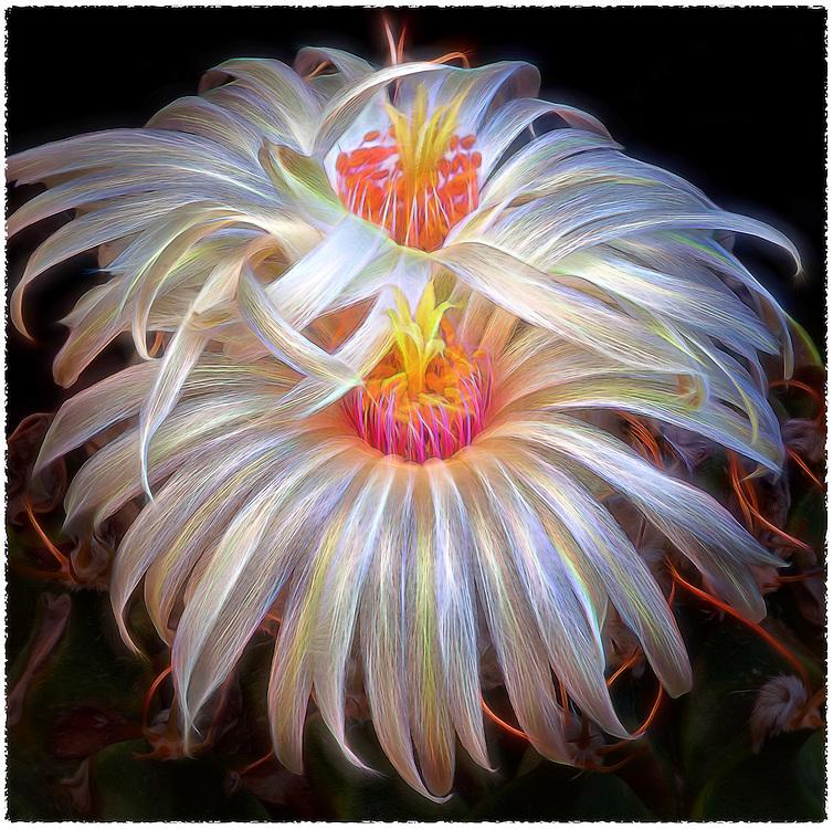 Obregonia denegri (Artichoke cactus)