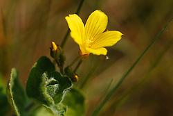 Moerashertshooi, Hypericum elodes