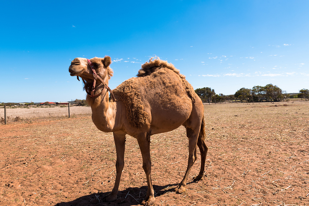 A single humped camel walking around