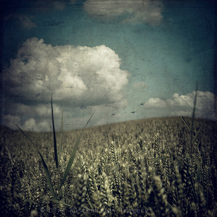 manipulated  and merged picture of a wheat field in summer.<br />