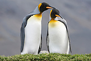 A male King Penguin (Aptenodytes patagonicus) caresses a female during courtship display, St. Andrews Bay, South Georgia, South Atlantic Ocean