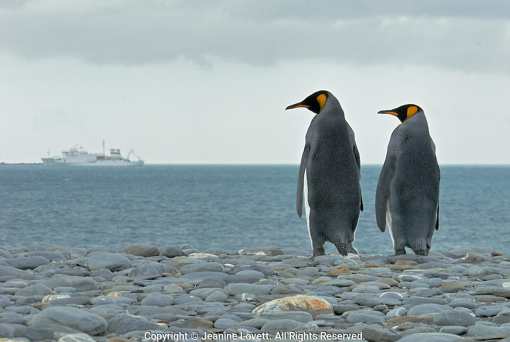 King Penguins couple looks like they are looking at the ship that brought the photographers to South Georgia Island.
