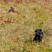 Photography was made during the 2015 Fox River Field Spaniel Club Hunt Test. The event took place November 18th and 19th and was held on the grounds of the Ottawa Field Trial Grounds, in Eagle WI.