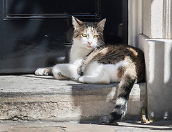 © Licensed to London News Pictures. 19/07/2016. London, UK. Larry the Downing Street cat rests on the doorstep of Number 10 in the mid morning heat after Prime Minister Theresa May held her first cabinet.  Photo credit: Peter Macdiarmid/LNP