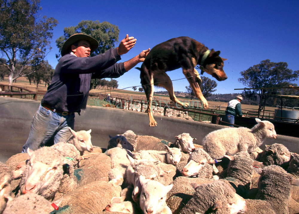 1997. Tamworth, Australia. .Teaching a dog to walk on the backs of sheep in the Australian outback..Photo; Charlie Varley
