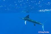 free swimming striped marlin, Kajikia audax, Vava'u, Kingdom of Tonga, South Pacific