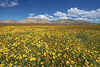 Orange Common Fiddleneck and yellow Common Hillside Daisies below the Temblor Range in the Carrizo Plains National Monument in California during a super wildflower bloom on April 4, 2019.