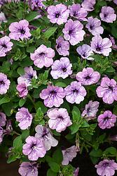 Petunia 'Lavender Sky'