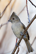An oak titmouse perches on a narrow branch at the edge of a thicket