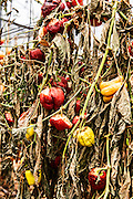 Due to economic considerations Bell Peppers were not harvested and left to dry in the field