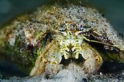 Marine Hermit Crab Portrait #2