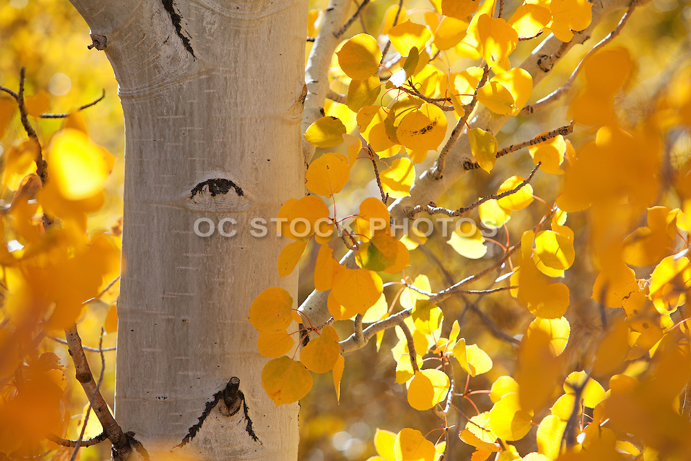 Fall Aspen Trees in California at the High Sierras