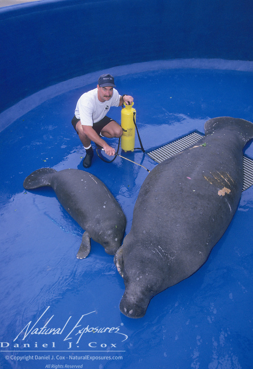Jay Yohn tends to a West Indian manatee (Trichechus manatus) that was injured by a boat. Sea World, Florida