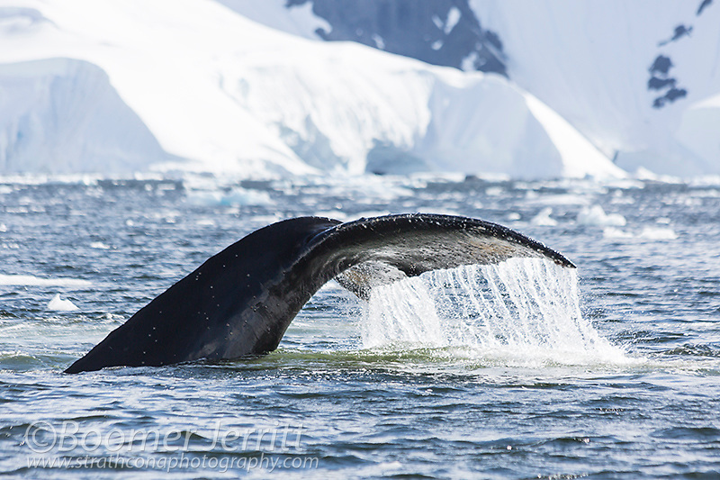 A Humpback Whale (Megaptera novaeangliae) water drainig off of its tail fluke,sounds in Wilhelmina Bay.  Cape Anna, Graham Land, Antarctic Peninsula