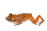 Undescribed Diasporus sp, Tink Frog, Cocobolo Nature Reserve, Panama