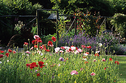 Poppies - Papaver rhoeas 'Mother of Pearl' in evening sunshine at Ketley's with vegetable garden and rustic screen in the background