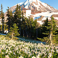 I spent a week backpacking, hiking and exploring Mt Rainier. I have to say this is one of the most amazing volcanoes. I was heading down spray park and came across this field of avalanche lilies soaking in the last rays of the sun.